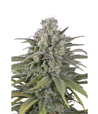 Humboldt Seeds Organization UK Cheese Auto 1x2