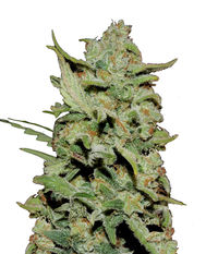 Barney's Farm Peyote Critical