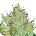 Barney-s-farm-g13-haze-regular