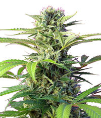 Sweet Seeds Chem Beyond Diesel® C.B.D.