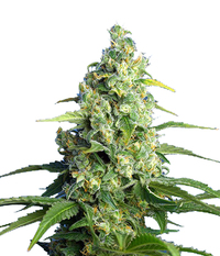 Sweet Seeds Honey Peach Auto CBD