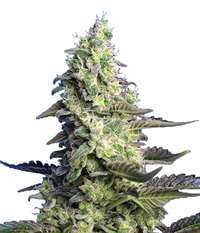 Sweet Seeds Green Poison XL Auto®