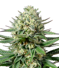 Medical Seeds OG Kush CBD