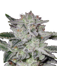 Green House Seeds Sweet Valley Kush