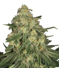 Paradise Seeds Allkush