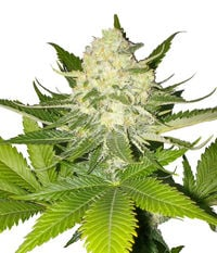 Paradise Seeds Atomical Haze