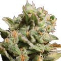 Paradise-seeds-dutch-dragon