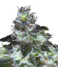 Paradise Seeds Original White Widow (IBL)