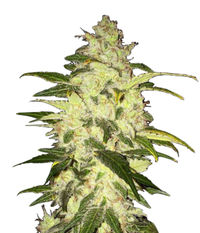 T.H.Seeds Chocolate Chunk