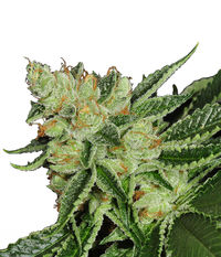 T.H.Seeds Cold Creek Kush