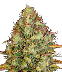 T.H.Seeds DAWG STAR