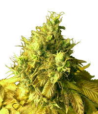 T.H.Seeds S.A.G.E.™'N SOUR