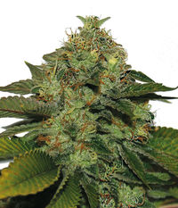 T.H.Seeds UltraSour