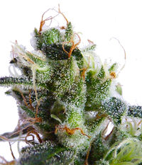 Suff Seeds Crimean landrace x Strawberry Diesel\4SD