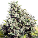 Female-seeds-grapefruit