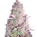 Female-seeds-purple-maroc