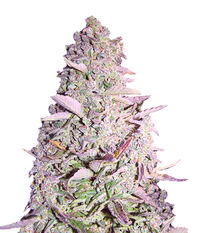 Female seeds Purple Maroc