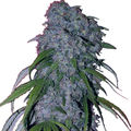 Female-seeds-neville-s-haze