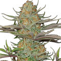 Dinafem-sweet-deep-grapefruit