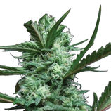 Big-buddha-seeds-cheesus