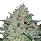 Big-buddha-seeds-freeze-cheese-89