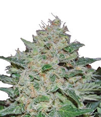Big Buddha Seeds Freeze Cheese '89