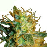 Big-buddha-seeds-silver-cheese