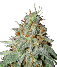 Big Buddha Seeds Big Buddha Cheese