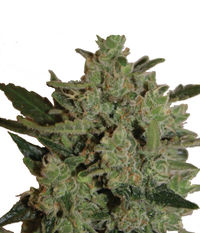 Big Buddha Seeds Blue Cheese Automatic