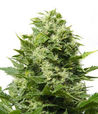 Big Buddha Seeds Bubble Cheese