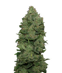 Big Buddha Seeds Cheese Dawg