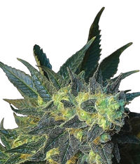 Big Buddha Seeds Chiesel