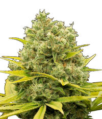 Dinafem Dinamed CBD Plus