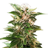 Advanced-seeds-kaya-47