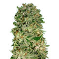 Advanced-seeds-shark-widow-cbd