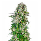 Sensi-seeds-big-bud-automatic