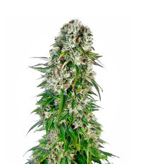Sensi Seeds Big Bud Automatic
