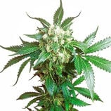 Sensi-seeds-black-domina