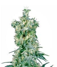 Sensi Seeds American Dream