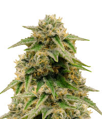 Humboldt Seeds Organization Gorilla Breath