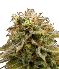 Humboldt Seeds Organization Lemon Thai Kush