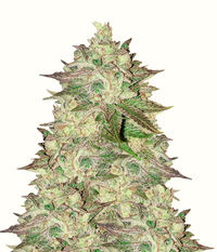 Humboldt Seeds Organization Sapphire Scout