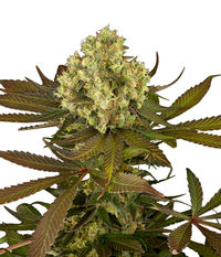 Humboldt Seeds Organization Sour Blueberry