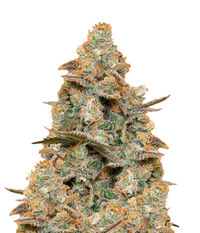 Humboldt Seeds Organization Three Blue Kings
