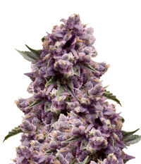 Pyramid Seeds Purple