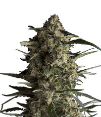 Pyramid Seeds Galaxy CBD