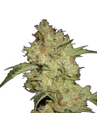 Pyramid Seeds Shark CBD