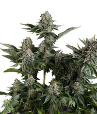 Pyramid Seeds White Widow CBD