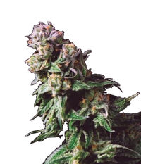 Pyramid Seeds Purple Urkle