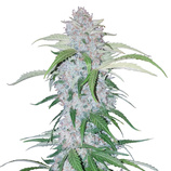 Fastbuds-six-shooter-auto